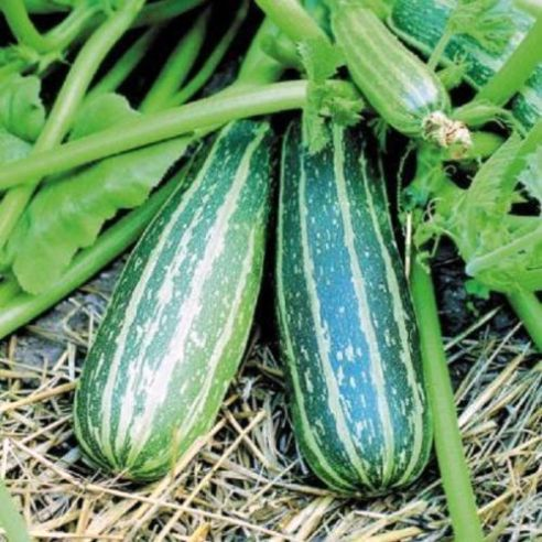 Courgette / Marrow Trailing - 5 seeds / 15 Seeds